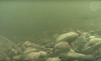 Specialiai žvejams: norvegai transliuoja, ką po vandeniu veikia lašišos