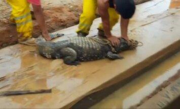 Statybvietėje rastas dviejų metrų ilgio krokodilas