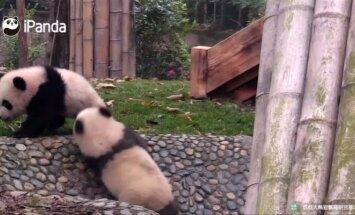 """""""Slaptas pandų gyvenimas (IV): pandos jaunikliai aiškinasi santykius ir ieško užtarimo"""