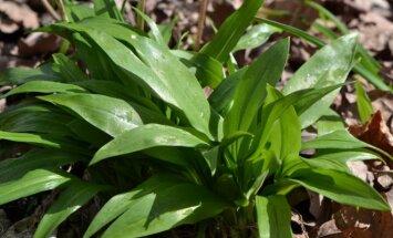 Augalai, kurie kvepia česnakais ir turi ne vieną naudingą savybę
