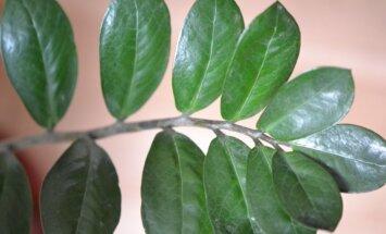 Nereiklus ir lengvai auginamas – pinigų medis