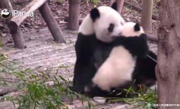 """""""Slaptas pandų gyvenimas"""" (XIX): šeimos artumo akimirkos"""