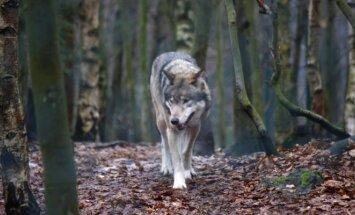 Ar žinote, kaip ginti pamačius vilką