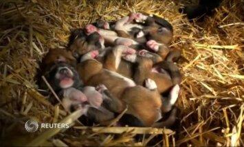 Australijos zoologijos sode laukinio šuns dingo patelė atsivedė penkis mažylius