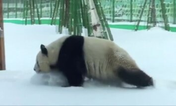 Panda lepinosi žiemiškais malonumais
