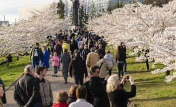 People enjoying an afternoon at the annual cherry Blossoms arond the Sugihara Memorial in Vilnius Photo © Ludo Segers @ The Lithuania Tribune