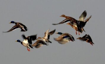 Migruojantys paukščiai virš šiaurinių Indijos teritorijų. Kašmyro pelkėse jie  susirenka iš Sibiro, Europos, Kazachstano