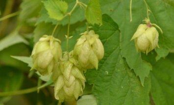 Apynio spurgai tinka ne tik alui, jie turi ir daug gydančių savybių.