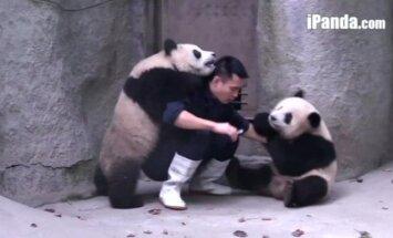 Niekas nemėgsta gerti vaistų: linksmos išdykusių pandų ir prižiūrėtojo imtynės