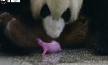 Didžiosios pandos patelė Kinijoje susilaukė jauniklio