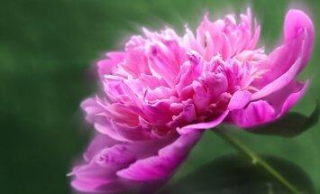 Sužinokite, kokios gėlės gali atnešti meilę ir pastovumą