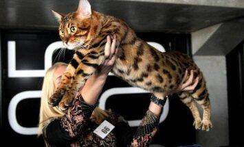 Bengalijos katė kailio raštu primena leopardą