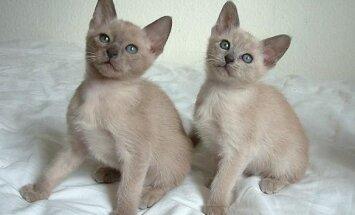 Tonkino katės