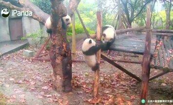 """""""Slaptas pandų gyvenimas"""" (XI): dvi mažylės kovojo dėl teritorijos, o trečia visa tai stebėjo"""