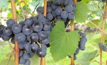 Vynmedžių sodinimas ir priežiūra rudenį