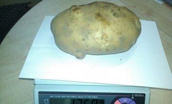 Milžiniška bulvė