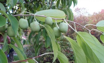 """<span style=""""color: #ff4040;"""">Įdomu:</span> saldainiai, kurie auga ant medžio"""