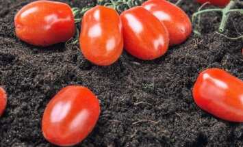 Dažniausios pomidorų ligos ir kenkėjai