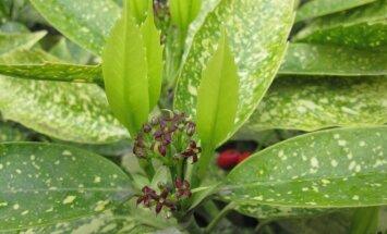 Augalas, kuris papuoš ne tik kambarius, bet ir balkonus bei kiemus