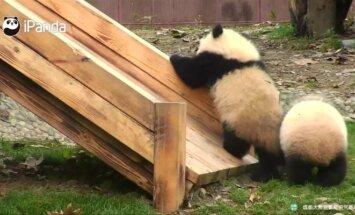 """""""Slaptas pandų gyvenimas"""" (XXI): čiuožynės užkariavimas ir prižiūrėtojo vaizdo kamera"""