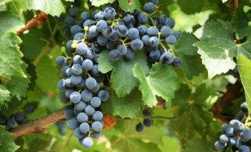 Vynuogių prižiūrėjimo vingrybės