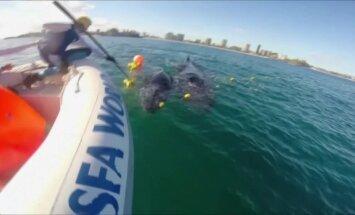 Australijos pakrantėje išlaisvintas į tinklą įkliuvęs kuprotojo banginio jauniklis