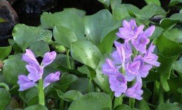 Invazinė gėlė iš Amazonijos