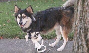 Šuo, kuriam sukurti priekinių kojų protezai