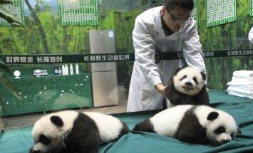 """Pandų jauniklių trejetukas Guangdžou safario parke """"Chimelong"""""""