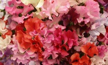 Patarimai auginantiems vijoklines lauko gėles