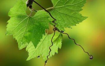 Paruoškite vynuogienojus žiemai: 6 žingsniai