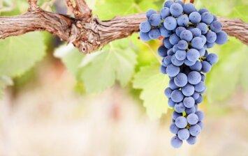 Vynmedžių priežiūra: kokie darbai yra svarbūs vasarai įpusėjus?