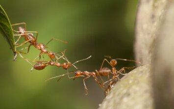 3 humaniški būdai, kurie padės iš sodo išprašyti skruzdėles
