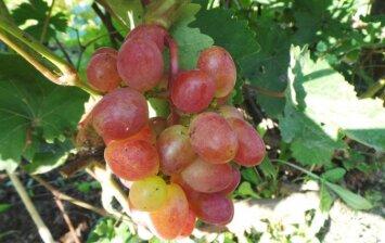 Vynmedžių veislės, tinkamos auginti Lietuvoje