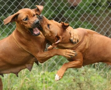 Šunų peštynės: kaip tokiu atveju elgtis?