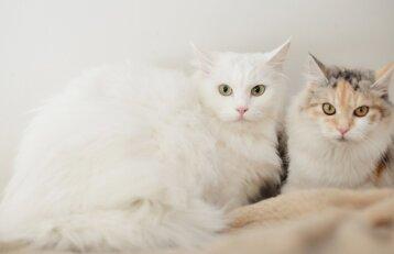 Ką daryti, kad jūsų katės kailis žvilgėtų