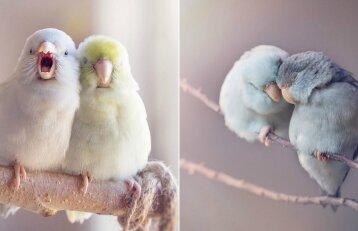 Neapsakomai miela: pažiūrėkite, kaip viena prie kitos glaudžiasi papūgėlės