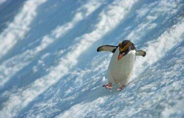 Australijoje tos pačios lyties pingvinų pora augina pingvinuką