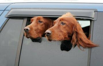Augintinio kelionė automobiliu: kaip užtikrinti jo saugumą