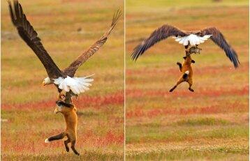 Nufilmuota įspūdinga kova: dėl grobio erelis ir lapė grūmėsi skrisdami