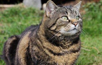 """Kodėl po sterilizacijos katės staiga """"išsipučia"""""""