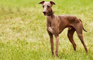 Greičiausių šunų paslaptis: viską lemia įdomi genetinė mutacija