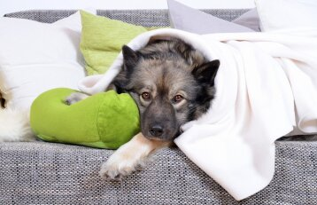 Ar gyvūnams skauda galvą?