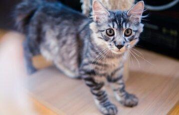 Kačių veisėja Milda: kurilų kačių uodegos unikalios, kaip pirštų antspaudai