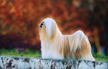 3 patarimai, kaip prižiūrėti šuns kailį, kad jis atrodytų nepriekaištingai