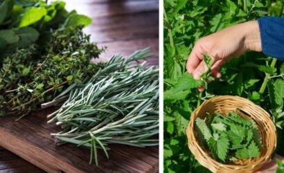 Vaistažoles auginanti lietuvė papasakojo, kurios turi ypatingą poveikį mūsų sveikatai bei savijautai