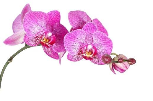Atsibudo išdidžiosios orchidėjos: kaip laistyti, persodinti ir puoselėti