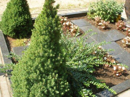 'Conica' – labai tinkamas pasirinkimas kapinėse, tik prieš ją sodinant reikėtų pagerinti smėlėtą žemę juodžemiu ir paviršių pamulčiuoti, kad žemė ne taip greitai išdžiūtų.