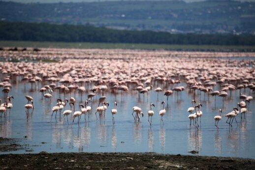 Nakuru ežeras - flamingų traukos vieta