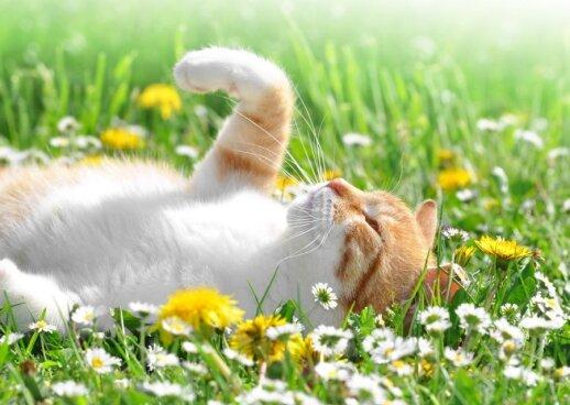 """Kurią leteną dažniau naudoja jūsų katė? Jos taip pat būna """"kairialetenės"""" arba """"dešinialetenės"""""""